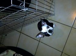 Cacahuete, chien Bouledogue français