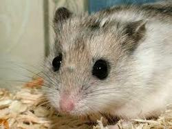 Cacahuètes, rongeur Hamster