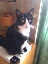 Cacahuètte, chat Gouttière