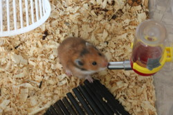 Cacaouette, rongeur Hamster