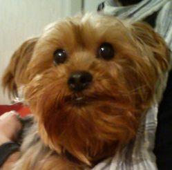 Cacauète, chien Yorkshire Terrier