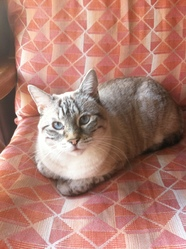 Cachemire, chat Européen