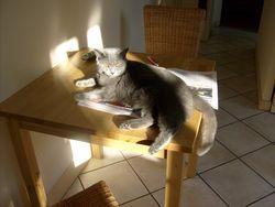 Cachemire, chat Chartreux