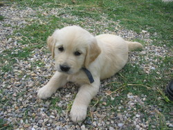 Cachou, chien Golden Retriever
