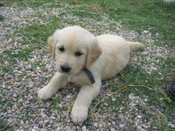 Cachou, chien Golden Retriever
