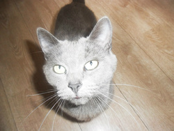 Cachou, chat Chartreux