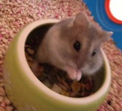 Cachou, rongeur Hamster