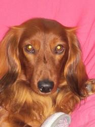 Cachou, chien Teckel