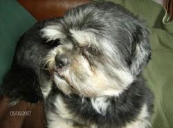 Cachou, chien Shih Tzu