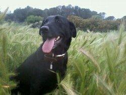 Cachou, chien Labrador Retriever