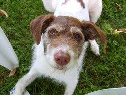 Cachou, chien Épagneul français