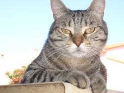Cachou, chat Européen