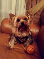 Cachou, chien Yorkshire Terrier