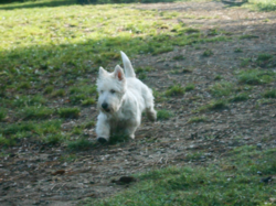 Cachou , chien West Highland White Terrier