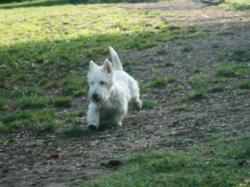 Cachou , chien West Highland White Terrier