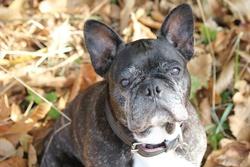 Cachou, chien Bouledogue français