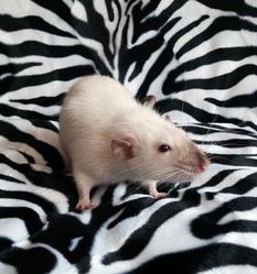 Cachou, rongeur Rat
