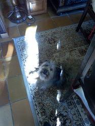 Cachou, chien Berger des Pyrénées