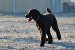 Cachou, chien Caniche