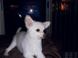 Cachou, chien Spitz allemand