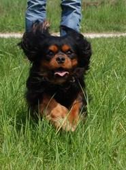 Cachou, chien Cavalier King Charles Spaniel