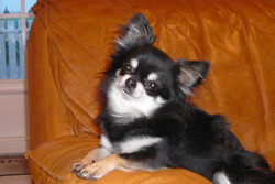 Cachou De L'Hacienda Bigourdane, chien Chihuahua