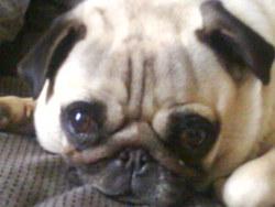 Cacrotte, chien Carlin