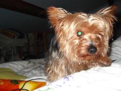 Cadix, chien Yorkshire Terrier