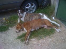 Caya, chien Dobermann