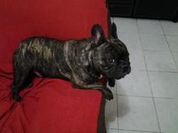 Caesar, chien Bouledogue français