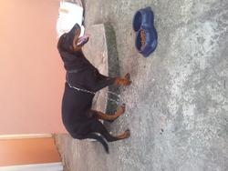 Caesar, chien Rottweiler