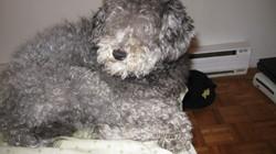 Bouclette, chien Caniche