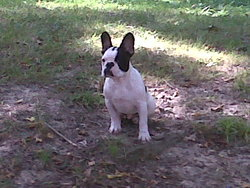Falko, chien Bouledogue français