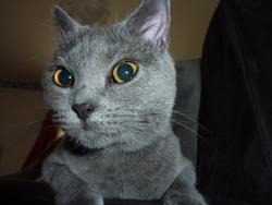 Frisquette Ou Mollette, chat Chartreux