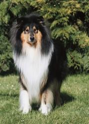 Caid Du Colley Du Marais De Bray, chien Colley à poil long