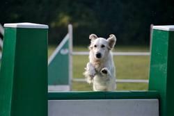 Caila, chien Golden Retriever