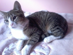 Caila, chat Européen
