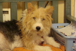 Caillou, chien Fox-Terrier