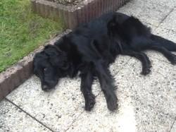 Caipi, chien Labrador Retriever