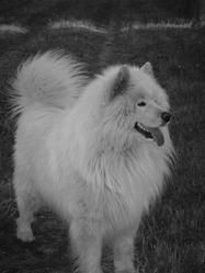 Cairo, chien Samoyède
