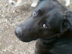 Caison, chien
