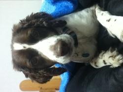 Caissy, chien Épagneul français