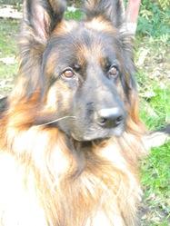 Caizer, chien Berger allemand