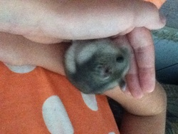 Cajou, rongeur Hamster