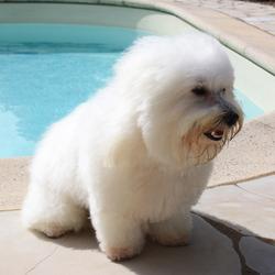 Cajou, chien Bichon maltais