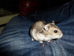 Darwin, rongeur Hamster