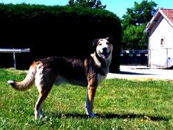 Cajoux, chien Husky sibérien