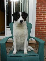 Caleb, chien Springer anglais