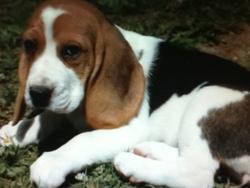 Calgary, chien Beagle