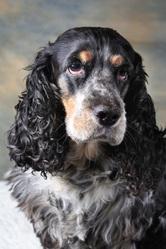 Caline, chien Cocker anglais